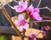 26th Mar 2020 - Peach Flowers