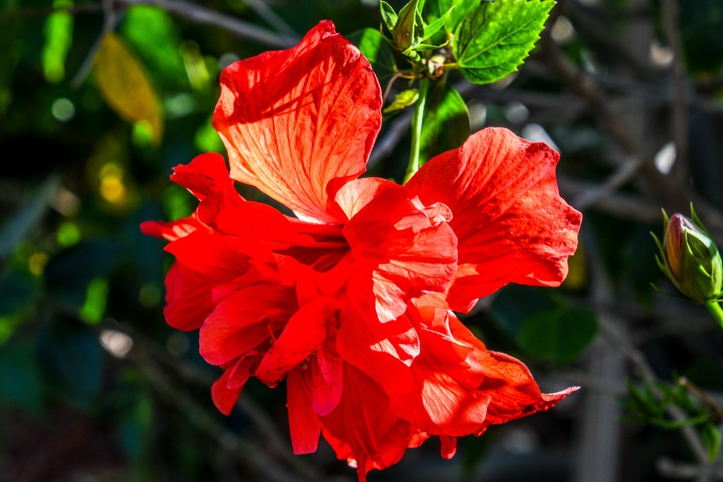 Hibiscus beauty by danette