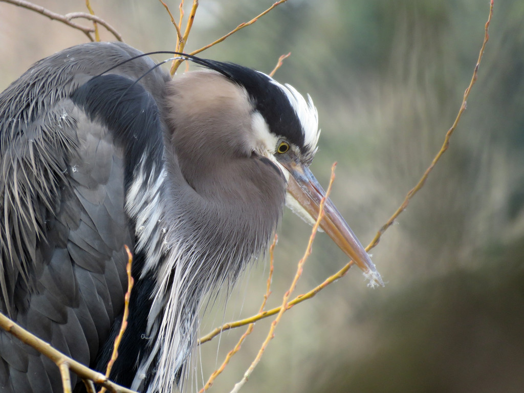 Great Blue Heron by seattlite