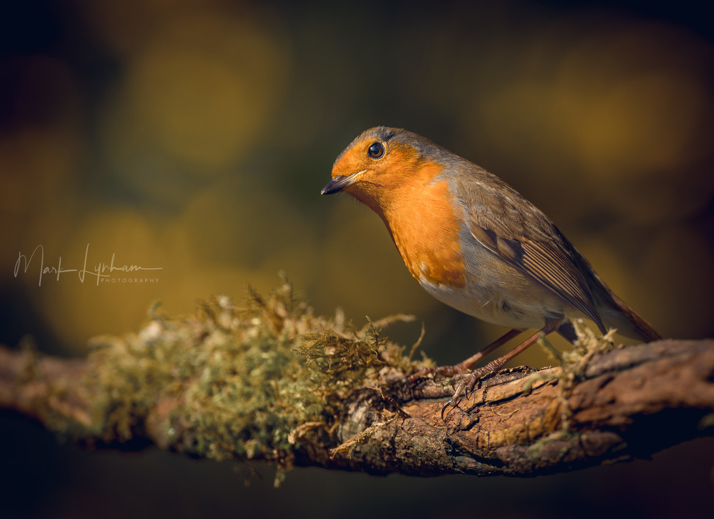Robin in the garden by markyl