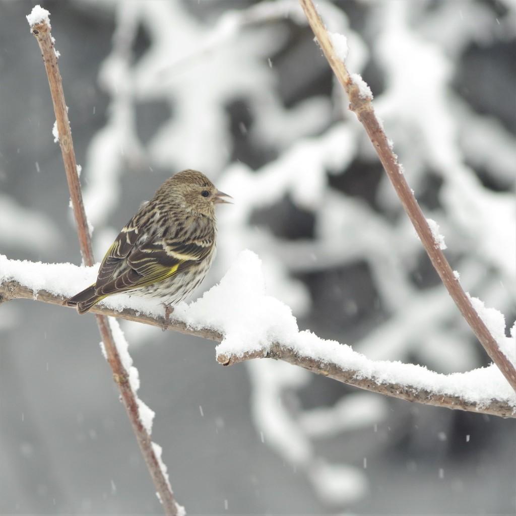 Finch   by radiogirl
