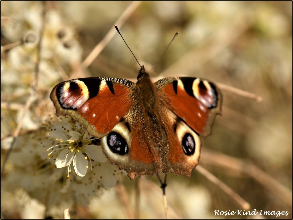 Peacock butterfly by rosiekind