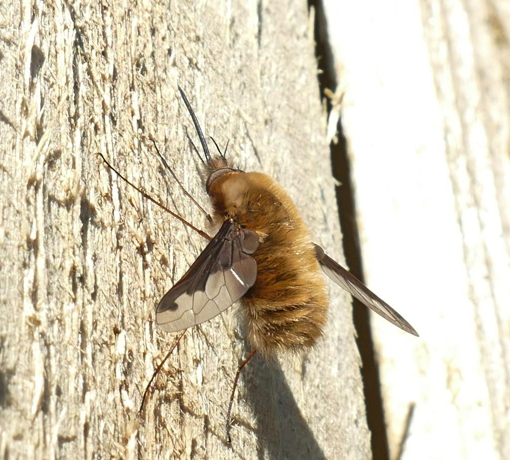 Beefly by jesika2