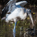 Very Busy Wood Stork