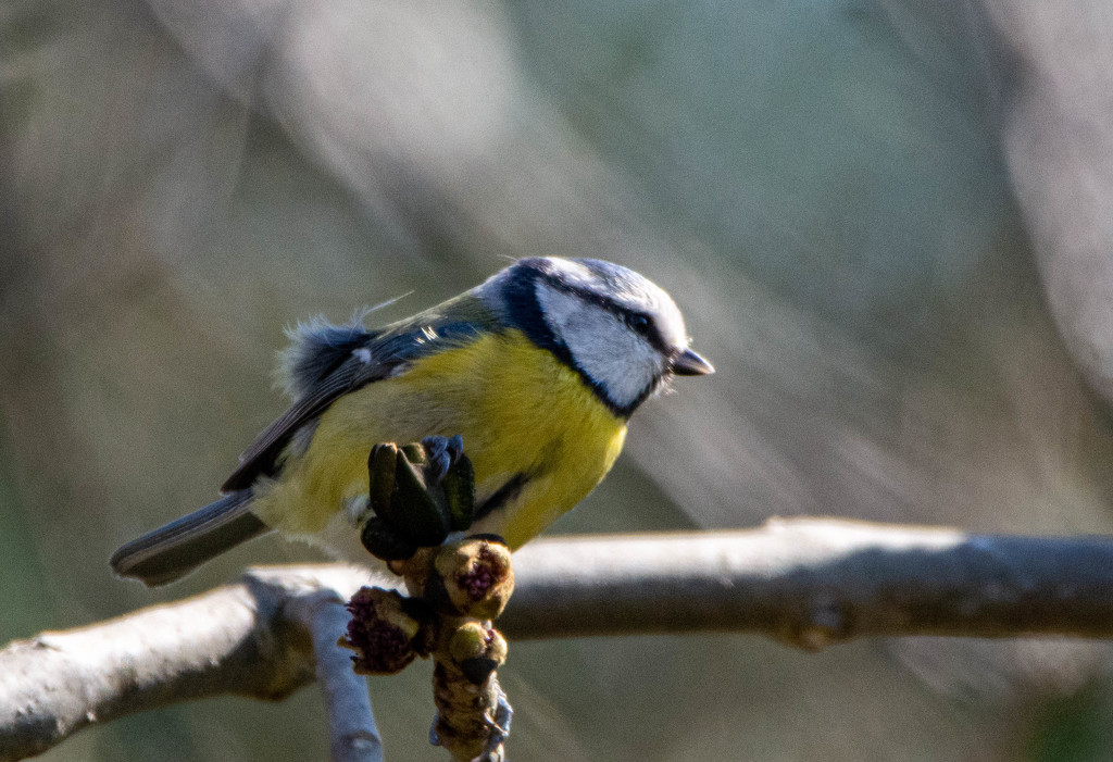 Blue Tit by stevejacob