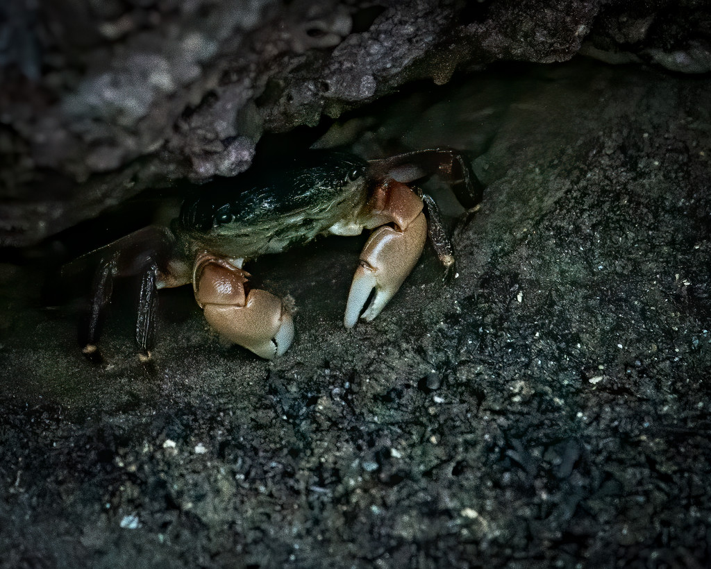 Another Crab Sheltering in Place by nicoleweg