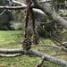 Redwood cones