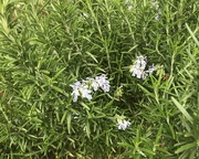 27th Mar 2020 - Rosemary for Remembrance
