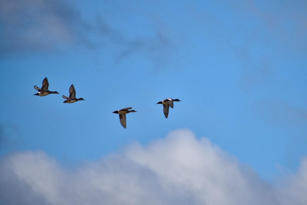 High Flying Ducks by bjywamer