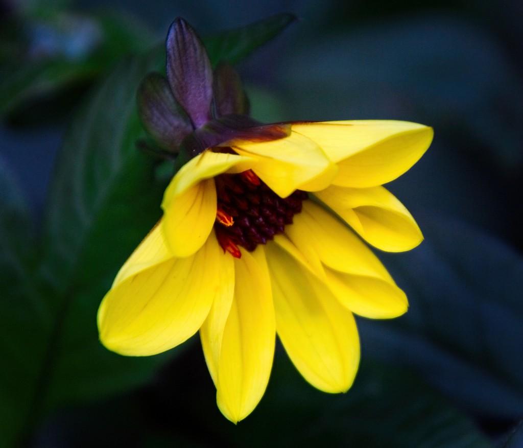 Solitary daisy by kiwinanna