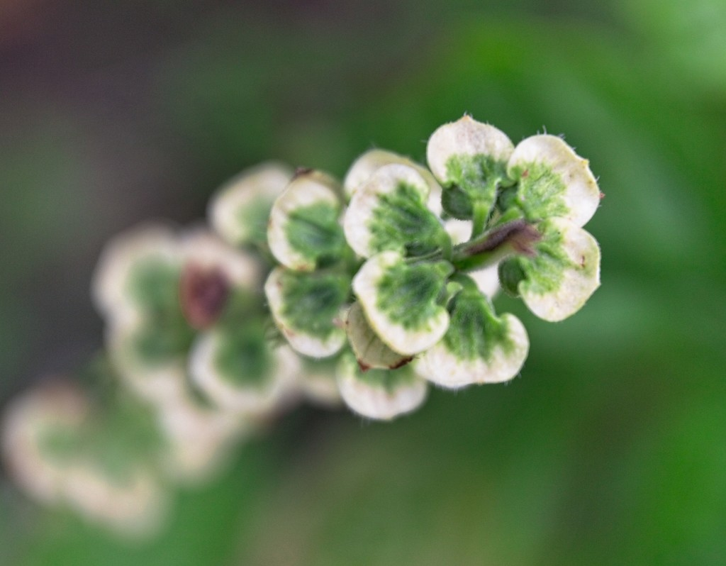 Basil flowers are green - who knew? by kiwinanna