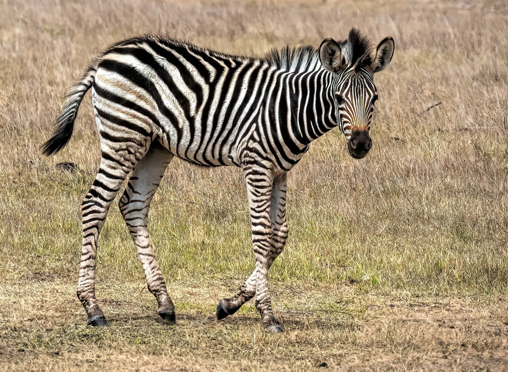 Zebra youngster by ludwigsdiana