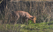 26th Mar 2020 - Reeves Muntjac