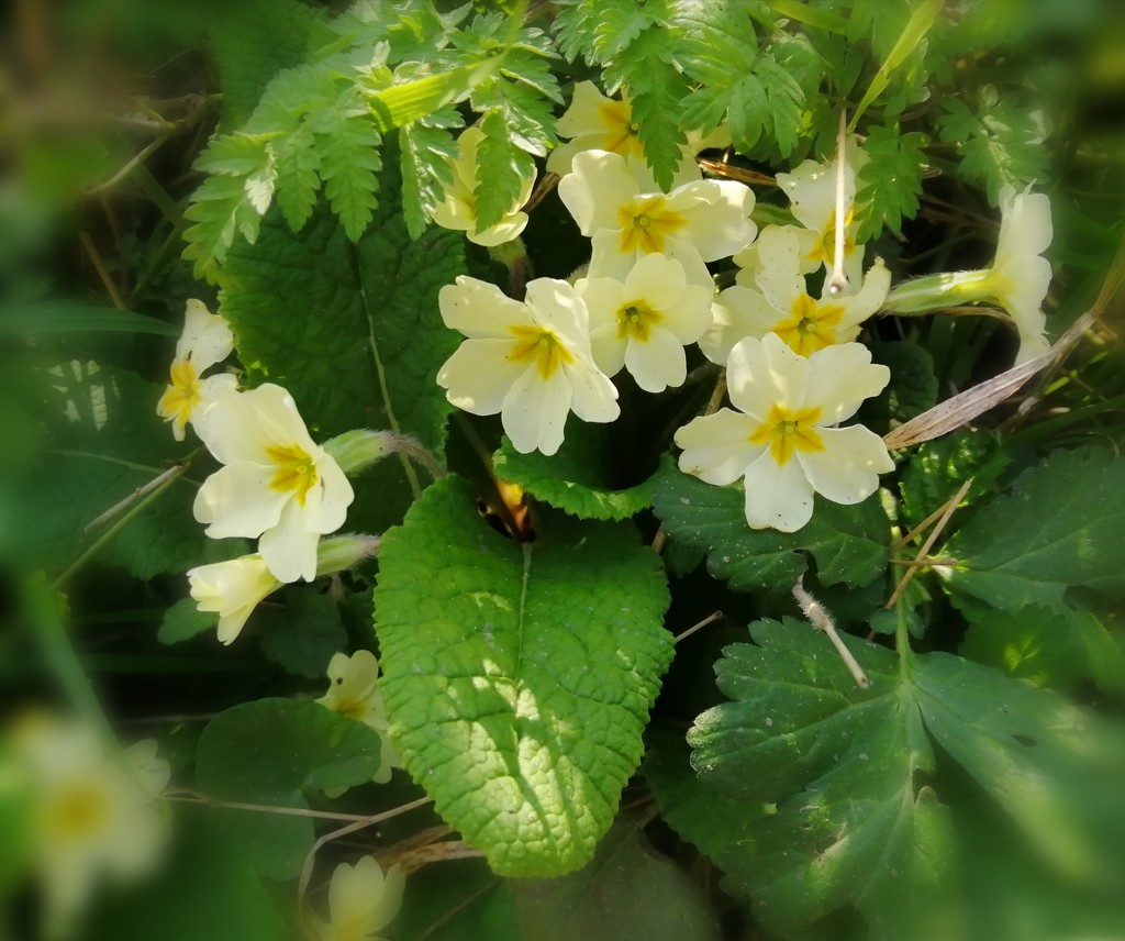 Roadside primroses  by flowerfairyann