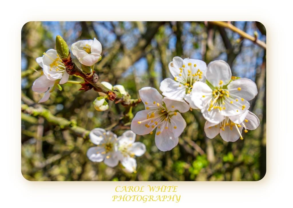 Hawthorn Blossom by carolmw