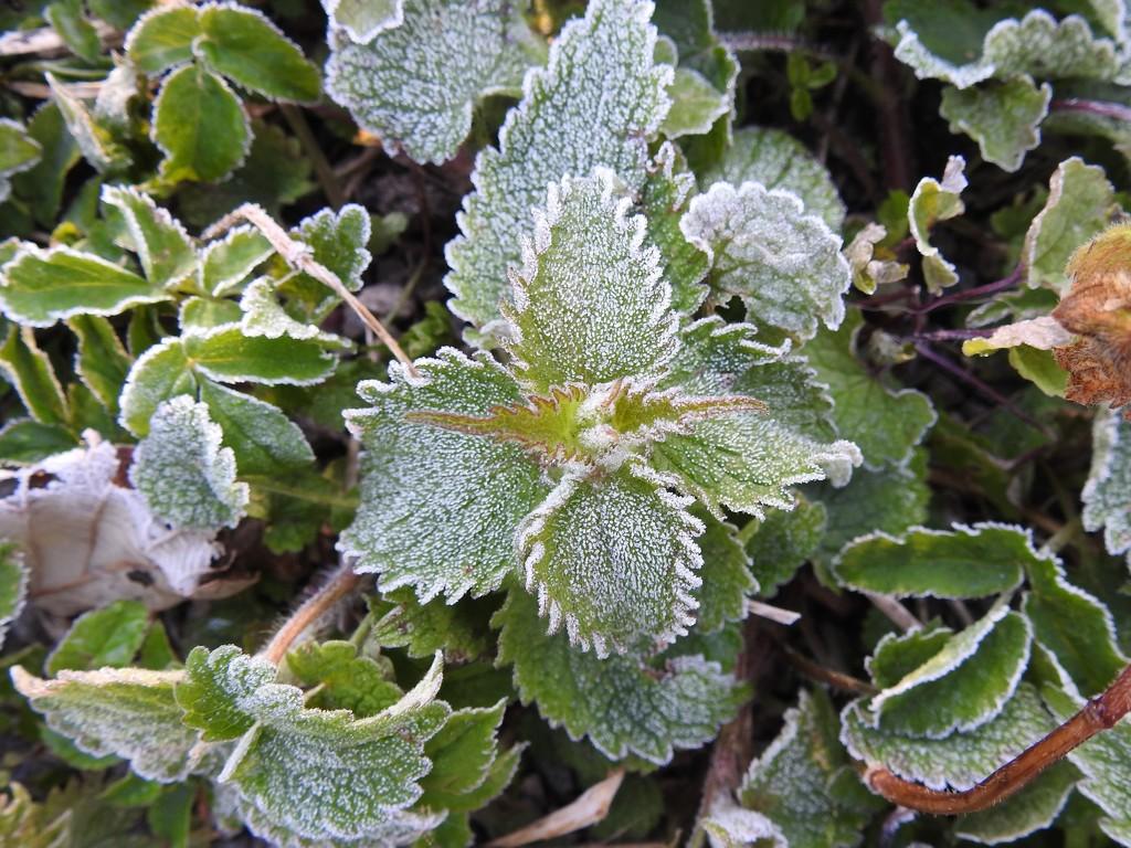 Frosty Leaves by oldjosh