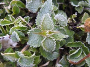 25th Mar 2020 - Frosty Leaves
