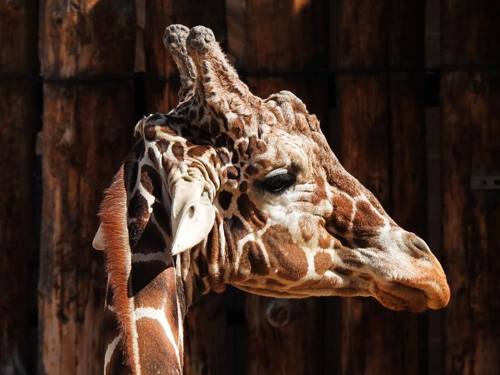 Giraffe by janeandcharlie