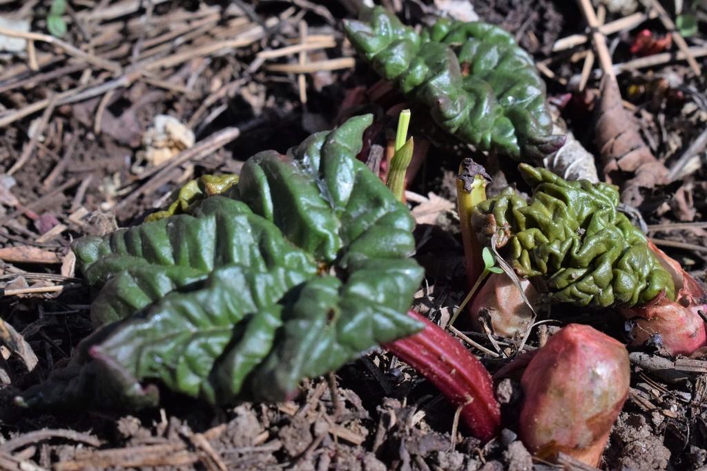 Rhubarb rising by sandlily