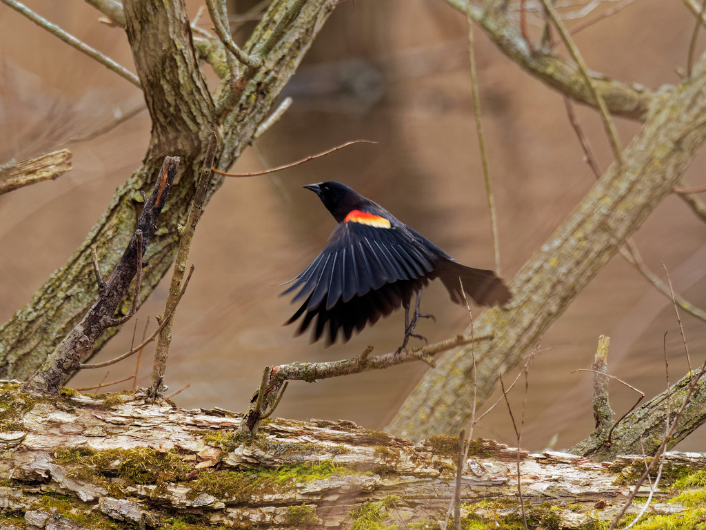 Red-winged blackbird taking off by rminer