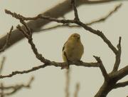 27th Mar 2020 - American goldfinch