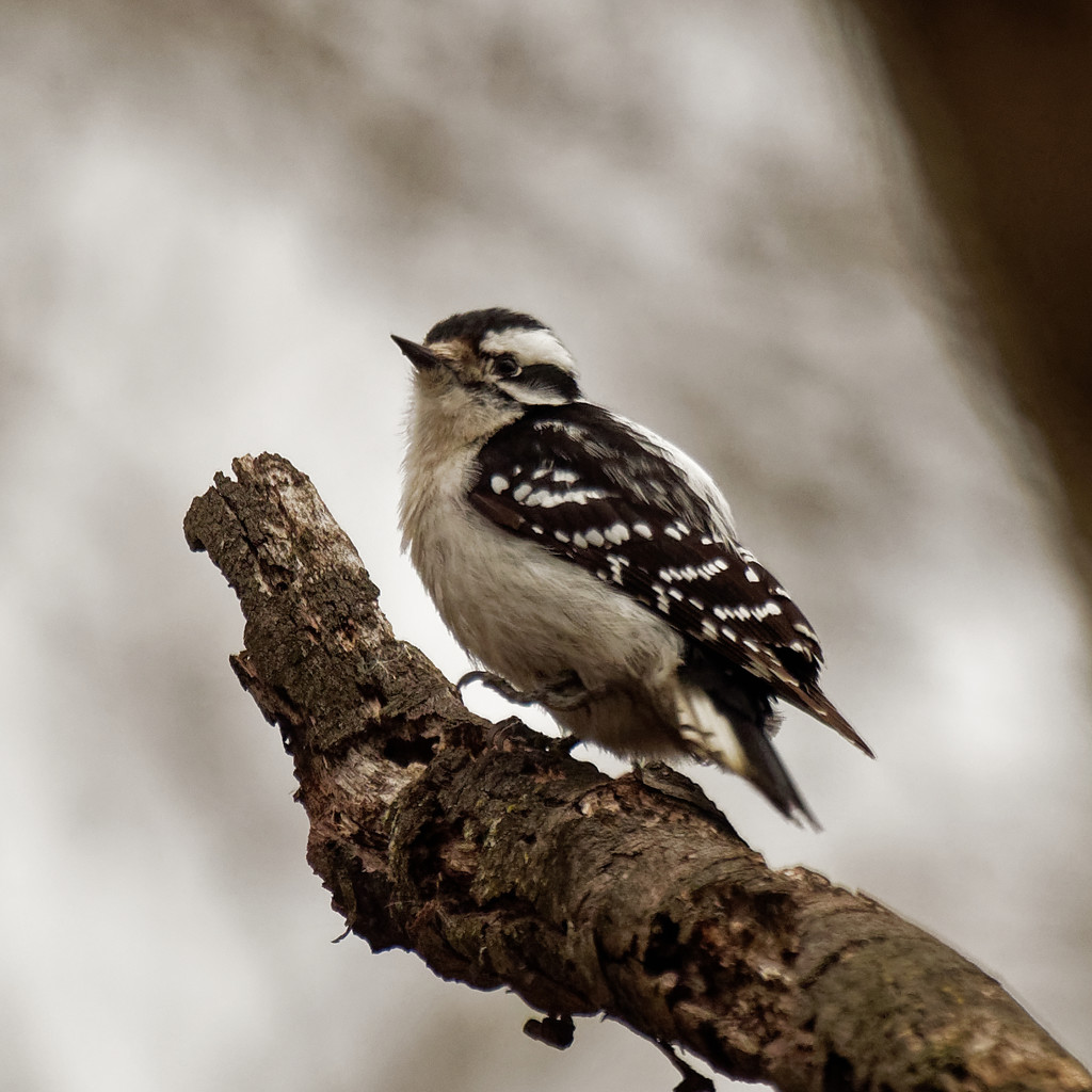 downy woodpecker profile by rminer
