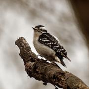 27th Mar 2020 - downy woodpecker profile
