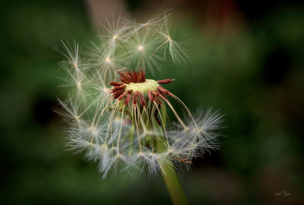 Dandelion  by samae