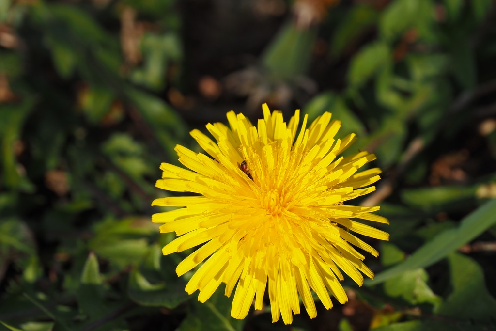 Humble dandelion, insect & mega pollen... by s4sayer