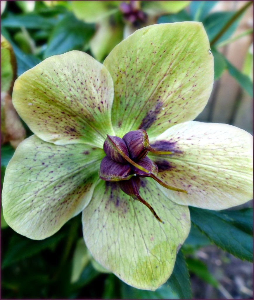Hellebore - Lockdown in my Garden by judithdeacon