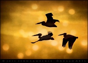 9th Jan 2011 - Pelican Flight
