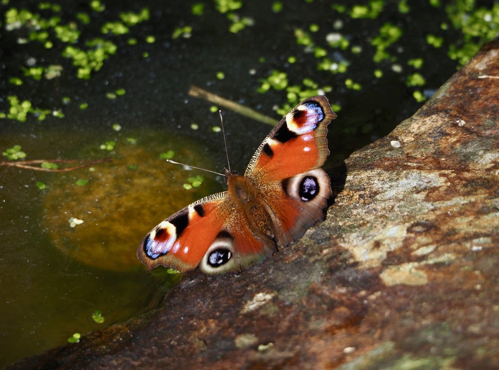 Peacock butterfly by rosie00