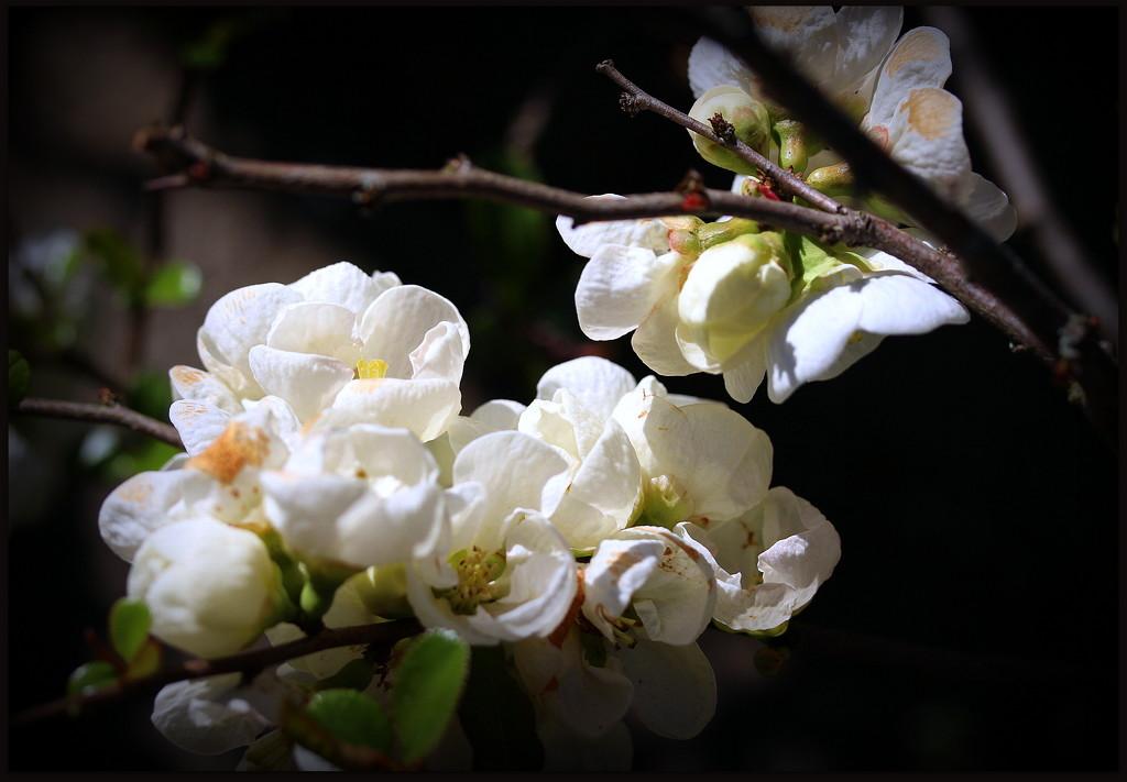 Chaenomeles japonica 'Alba' by pyrrhula
