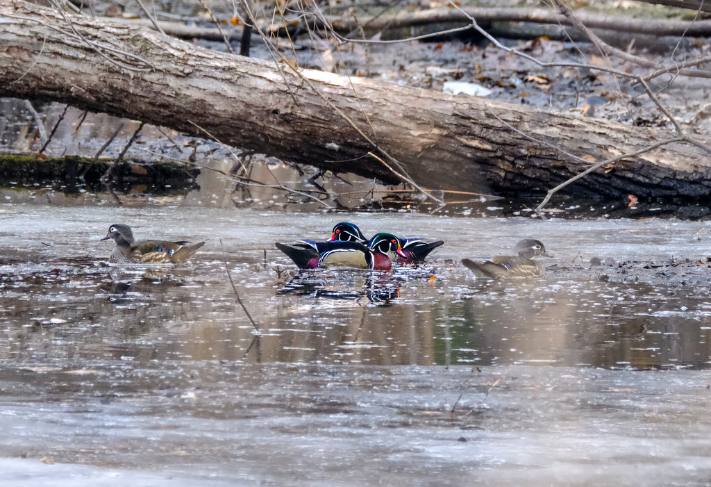 Return of the Wood Ducks by tosee