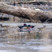 Return of the Wood Ducks