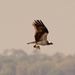 Osprey Dad Delivering Lunch!! by rickster549