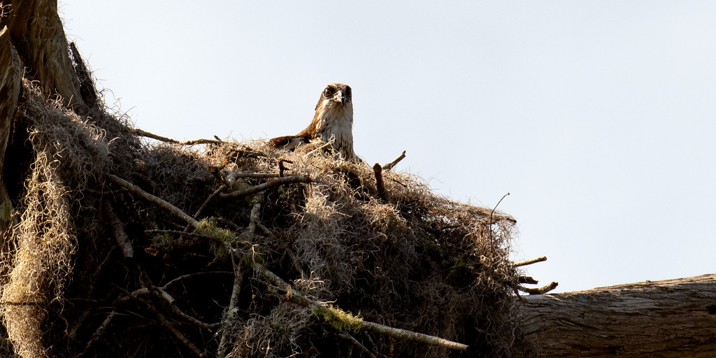 Osprey Mom, Keeping the Nest Warm! by rickster549