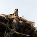 Osprey Mom, Keeping the Nest Warm!