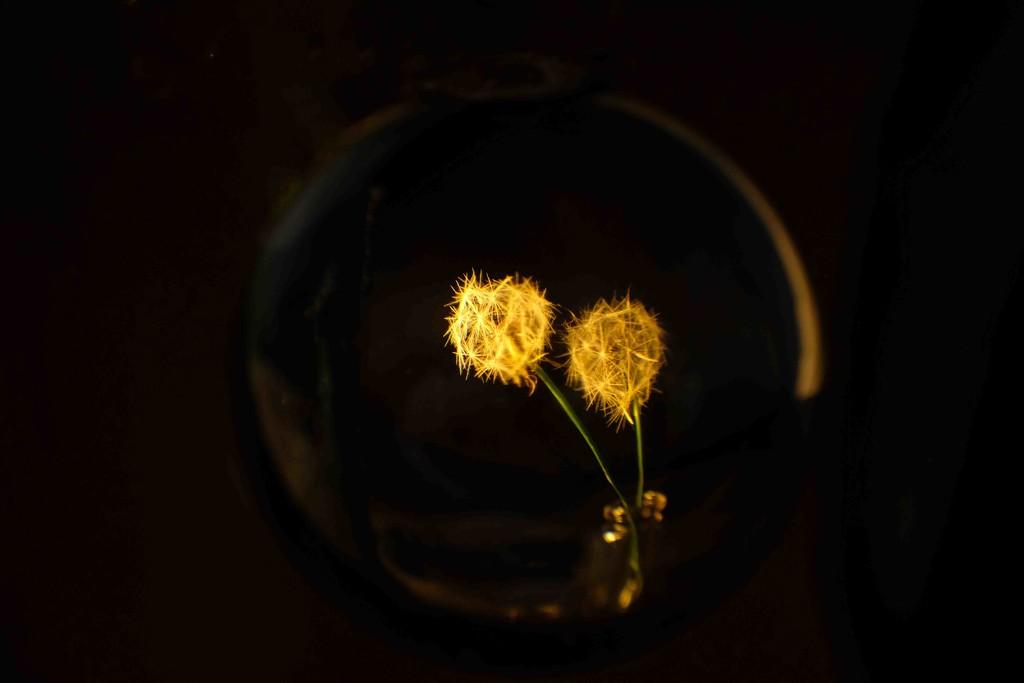 Dandelions by maureenpp