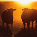 sunset steers