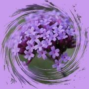 28th Mar 2020 - one stem of verbena