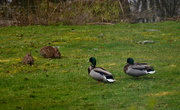 27th Mar 2020 - Rabbits and Ducks