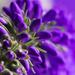 Purple #4