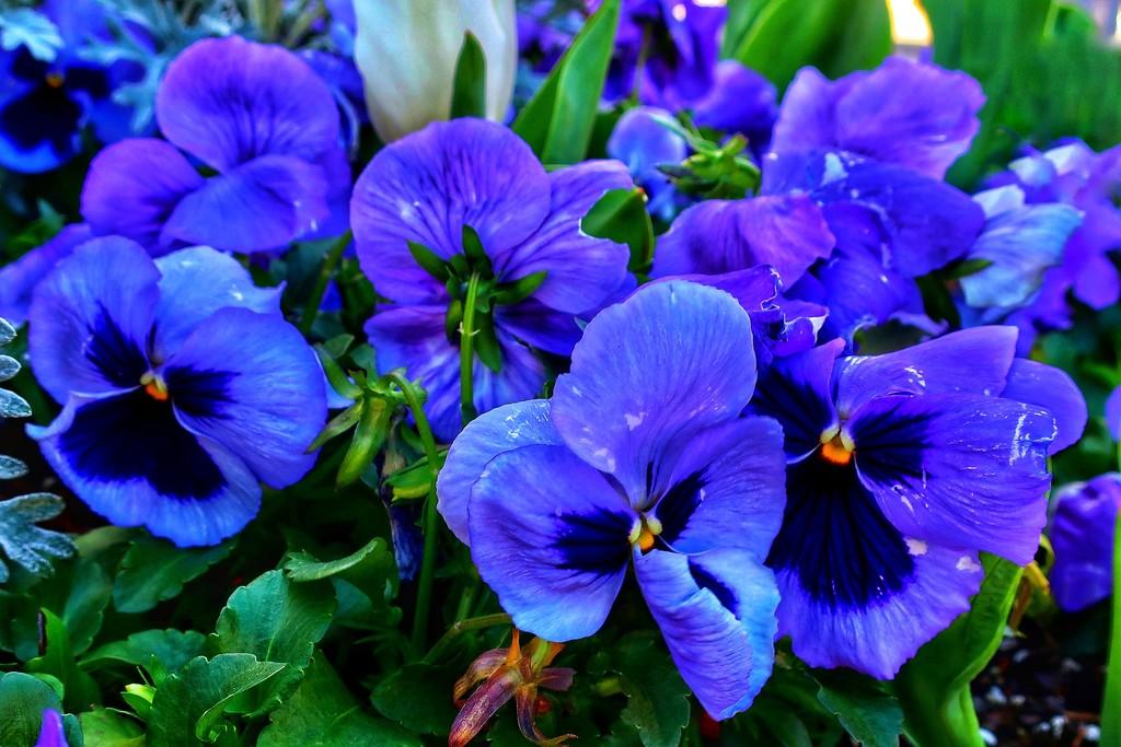 Purple pansies by louannwarren