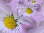 28th Mar 2020 - Lawn Daisies.......