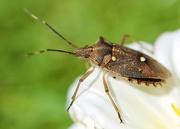 28th Mar 2020 - Just A Stink Bug DSC_1150