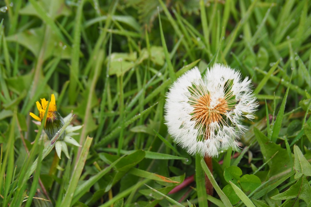 Dandelion...in moult by s4sayer