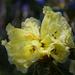 Himalayan Bloom