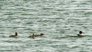 28th Mar 2020 - red-breasted mergansers
