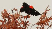 28th Mar 2020 - red-winged blackbird
